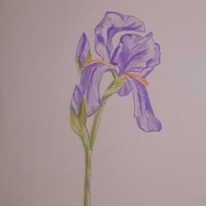 Chenel 2018- coloriage - iris - 21x29